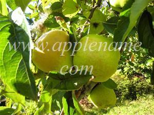 Grimes Golden apple identification - Grimes Golden in Oregon, early October