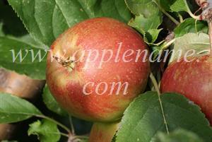 Belle de Boskoop apple identification - Belle de Boskoop