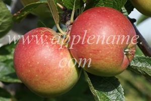 Braeburn apple identification - Braeburn