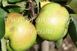 Apple - Bramley's Seedling - tasting notes, identification