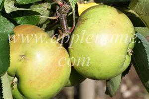 Bramley's Seedling apple identification - Bramley's Seedling