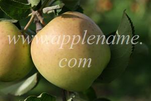 Mutsu apple identification - Crispin