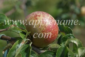 Egremont Russet apple identification - Egremont Russet