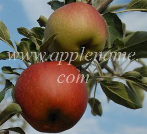 Esopus Spitzenburg apple identification - Esopus Spitzenburg
