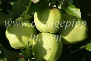 Golden Delicious apple identification - Golden Delicious