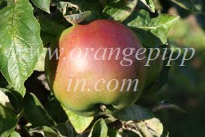 Granny Smith showing red coloration which can arise in some climates