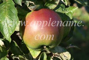 Granny Smith apple identification - Granny Smith showing red coloration which can arise in some climates