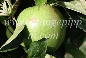 Granny Smith apple identification - Granny Smith