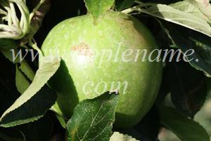 Granny Smith apple identification - Granny Smith