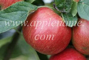 Idared apple identification - Idared