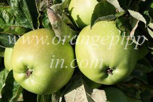 Lord Derby apples