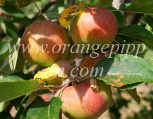 Lord Lambourne apples