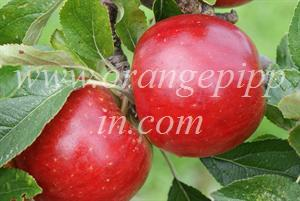 Meridian apples