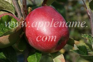 Northern Spy apple identification - Northern Spy apple