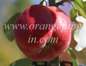 Opalescent apple