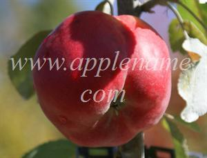 Opalescent apple identification - Opalescent apple