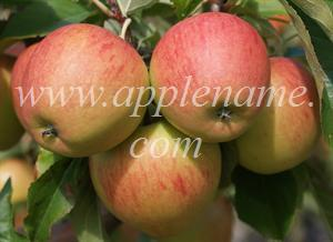 Pinova apple identification - Pinova apples