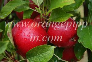 Rome Beauty apples in New York state
