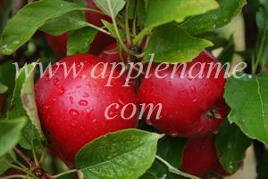 Rome Beauty apple identification - Rome Beauty apples in New York state