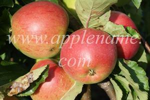 Rome Beauty apple identification - Rome Beauty apples, Brogdale Farm, England