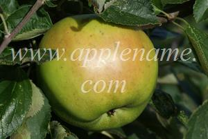 Rhode Island Greening apple identification - Rhode Island Greening apple