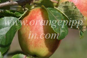 Sunrise apple