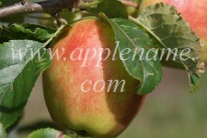Sunrise apple identification - Sunrise apple