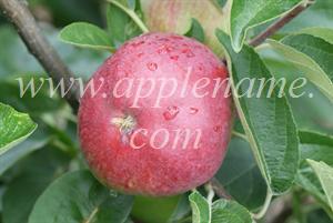 Tydeman's Early Worcester apple identification - Tydeman's Early Worcester apple