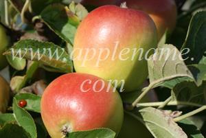 Winter Banana apple identification - Winter Banana apples