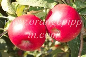 Bonza apples