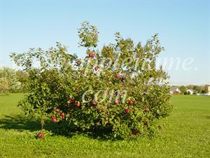 Arkansas Black apple identification - Arkansas Black tree, planted 1998, Ohio