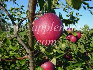 Arkansas Black apple identification - Arkansas Black