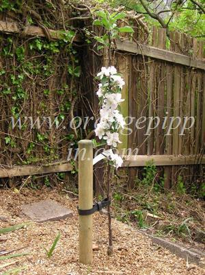 Newly planted Ashmead's Kernel apple tree