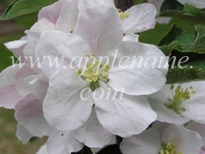 Ashmead's Kernel apple identification - Ashmead's Kernel blossom