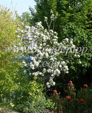 Newton Wonder apple tree M26 rootstock