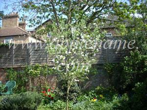 Cox's Orange Pippin apple identification - Cox's Orange Pippin tree