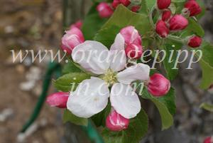 Lady Williams blossom - at the UK National Fruit Collection