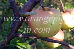 Chehalis Apple