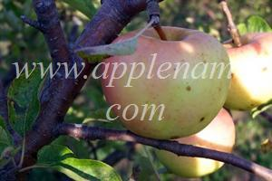 Chehalis apple identification - Chehalis Apple