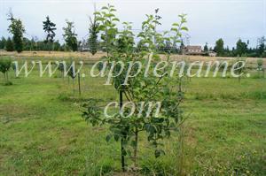 Smokehouse apple identification - Smokehouse on MM111 rootstock