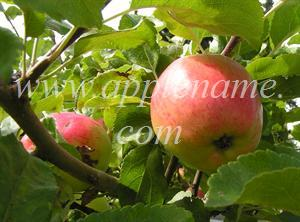 Sunrise apple identification - Photo submitted by Cris Sherman