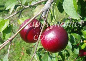 Red June apple identification - Photo taken at Eastmans Antique Apples, Michigan