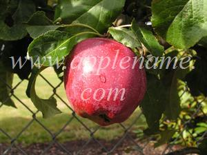 Liberty apple identification - Photo submitted by Cris Sherman