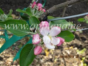 Cox's Orange Pippin apple identification - Cox Orange Pippin blossom