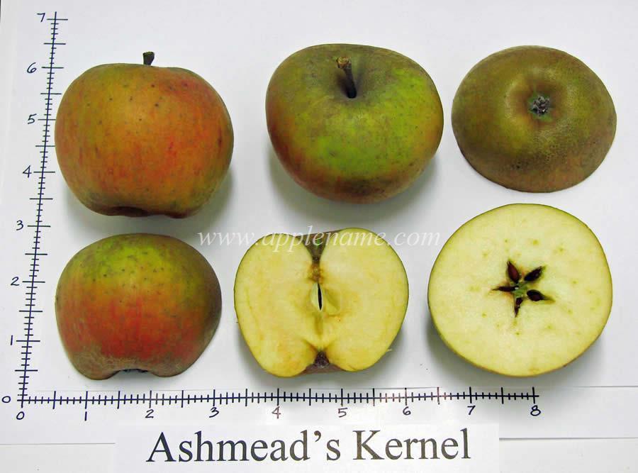 Ashmead's Kernel apple identification
