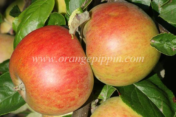 Beeley Pippin apples