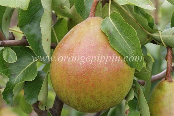 Beurre Superfin pear