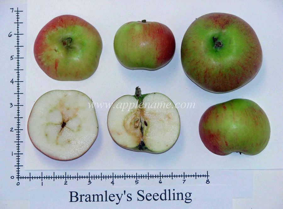 Bramley's Seedling apple identification