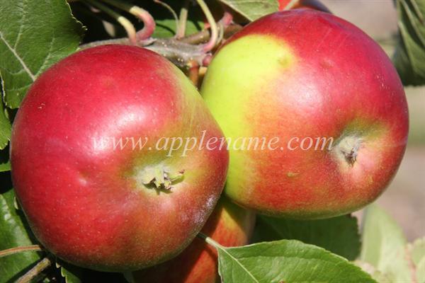 Burgundy apple identification - Burgundy apples
