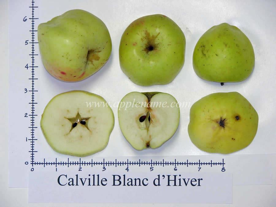 Calville Blanc d'Hiver apple identification